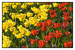 Yellow and Red Tulip Bed